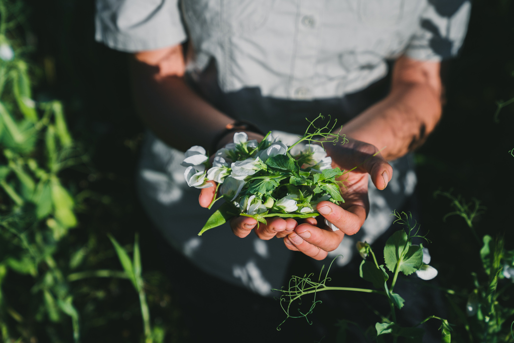 The delicate leaves and frilly white flowers of #peashoots add a happy touch to plates as garnish. ⁠🌱⁠ #pickandeat #springharvest https://t.co/gMcqJmZr94