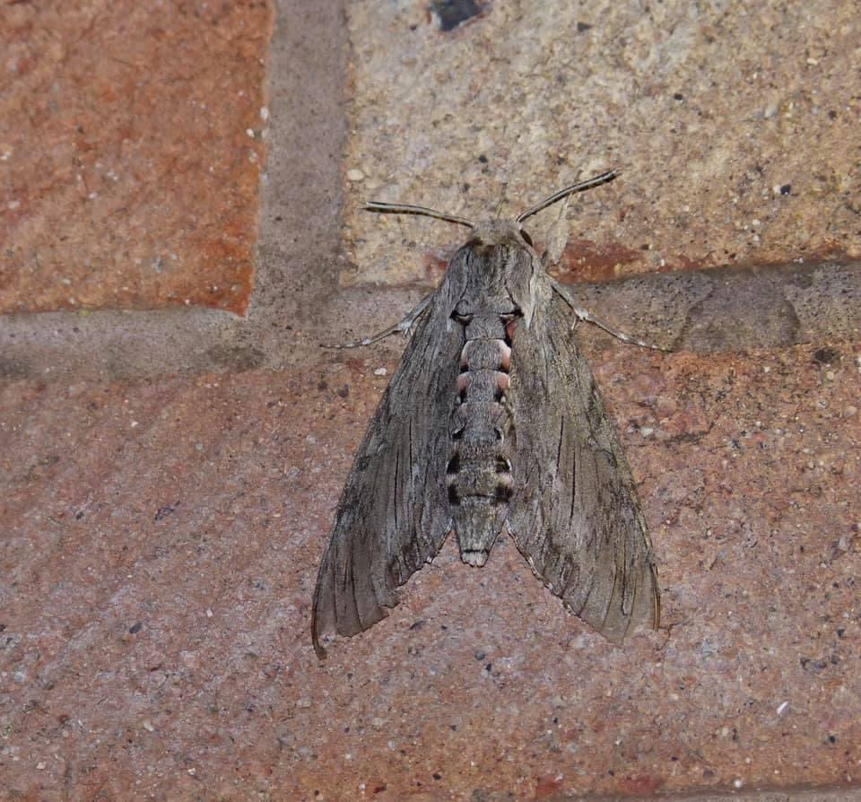 Convolvulus Hawk Moth.  This one was found just over the border in Whitbourne by Liz Beddall. What a beauty. #mothsmatter https://t.co/9lZLG1Q9Av