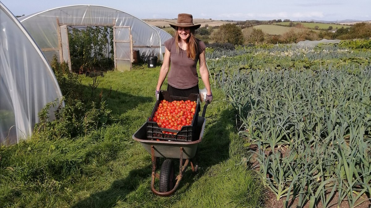Shedloads of tomatoes in our veggie shares this week. Also curly kale, mixed salad leaves, aubergine, green pepper, sweetcorn, cucumbers or courgettes, spring onions, beetroot + @ColwithFarm  'Wilja' spuds #CSAfarm #vegbox #Cornwall https://t.co/jURgNlRr1S