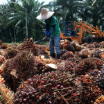 Image for the Tweet beginning: Malaysia's palm oil companies are