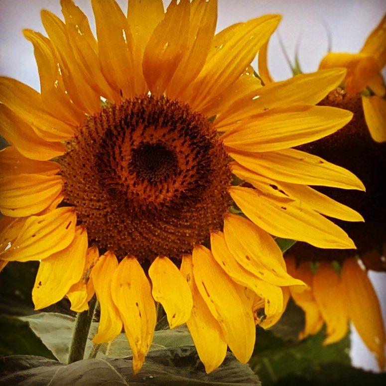 "May your weekend shine ...  ""Light-enchanted sunflower, thou Who gazest ever true and tender On the sun's revolving splendour.""  ― Pedro Calderón de la Barca https://t.co/5eGeSILXrk"