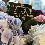 Image for the Tweet beginning: Stunning hydrangeas in store now
