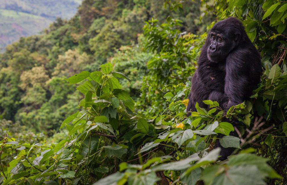 The mountain gorilla population can be found in the Virunga massif as well as Bwindi forest. Plan a gorilla tour and have a lifetime experience  https://t.co/qKKgmuNns9 #gorillatrekking #gorillatours #Ugandagorillatours https://t.co/6myvn9wERV