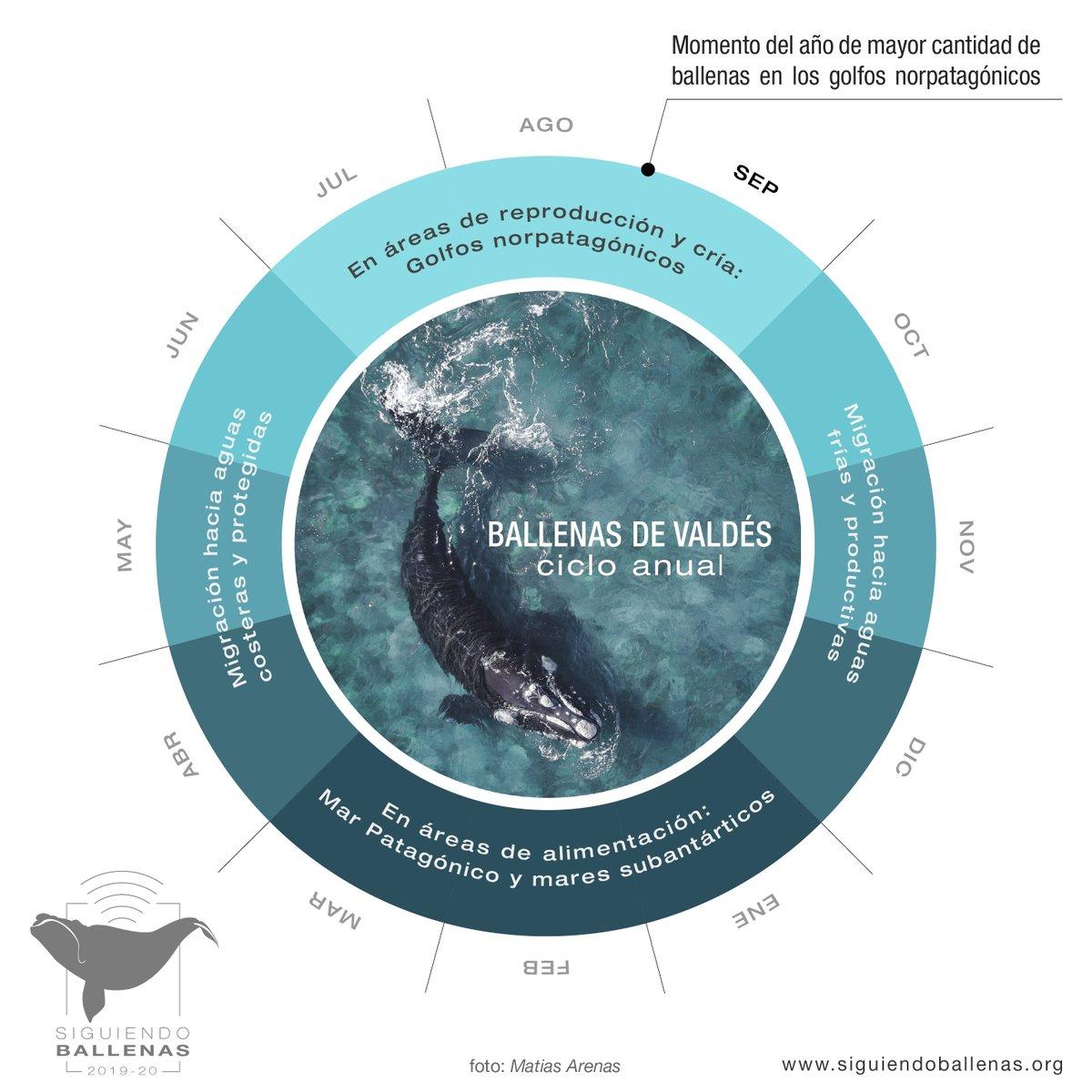Entre inicios de otoño y fines de primavera, el Golfo Nuevo resulta un ambiente de importancia crítica para las #ballenas francas australes; ¡es temporada de cría! Septiembre es uno de los meses con mayor presencia de individuos en las aguas que rodean la #PenínsulaValdés. https://t.co/rd5laY586S