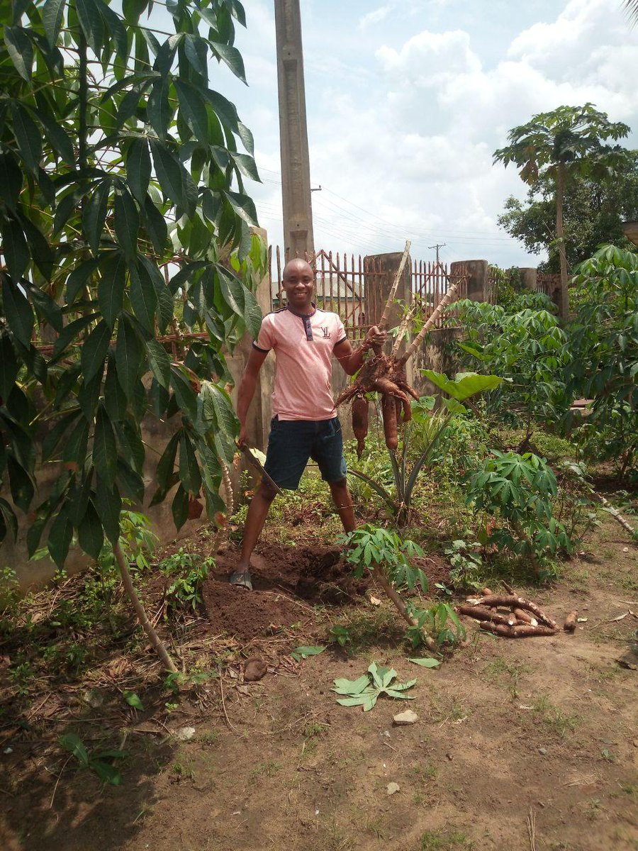 This was harvested right at my doorsteps, imagine what could have been achieved if I have access to a large expanse of arable land with state-of-the-heart equipment! @oluremisonaiya @eobilo @seyiamakinde @akin_adesina @UtomiPat @ProfOsinbajo @Ibadanpride https://t.co/7TWvu6akTn