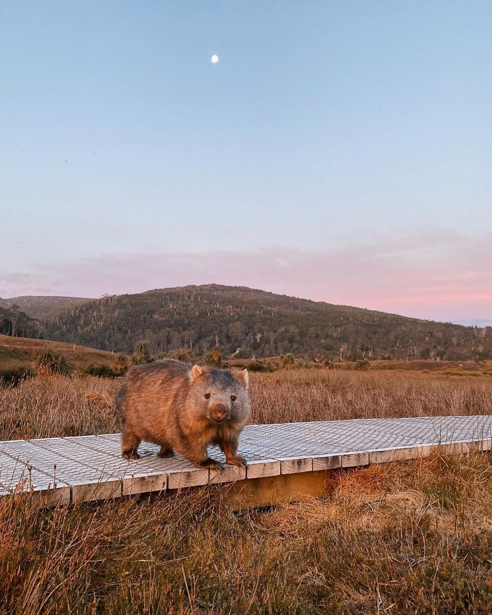 Wally's taking full advantage of the soft lighting to capture his new profile pic 😉   IG/hugowalton spotted this curious local striking a pose at #sunset in the Cradle Mountain-Lake St Clair National Park in @tasmania's North West.   #seeaustralia #discovertasmania #tassiestyle https://t.co/j2wuWEEPD4