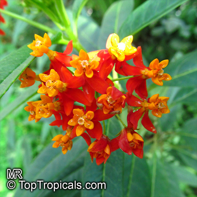 #Asclepias curassavica - Red Milkweed, Butterfly Weed has. long bloom period from late spring throughout the summer. Flowers are a nectar source for many butterflies and leaves are a food source for monarch butterfly larvae.  https://t.co/r96emc5XB4 #floweringshrubs #SundayFunday https://t.co/lmutqgMOlW