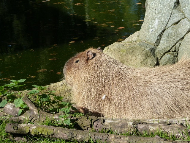 Brian enjoying some well deserved alone time after annoying his wife all morning. Like any rational Capybara,  when in doubt, sunbathe and think about lunch. https://t.co/KPJTsDc6bU