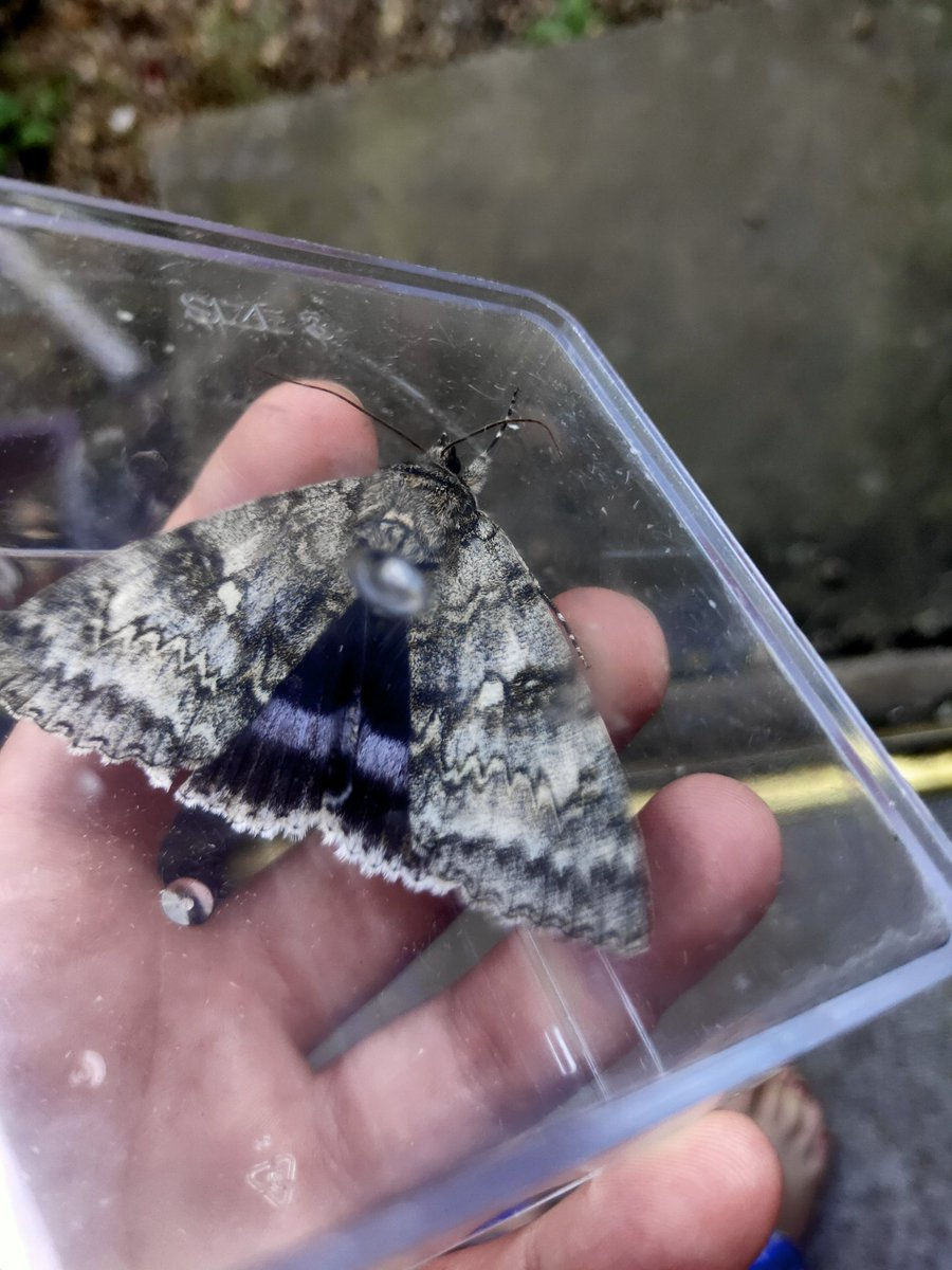 In my trap in Shropshire this morning - may have terrified the neighbours by running around screaming in my dressing gown, but completely justifiable! A Clifden nonpareil, an immigrant moth species that is resident in some parts of southern England. A moth-ers dream!! https://t.co/H9ZyBG9fKk