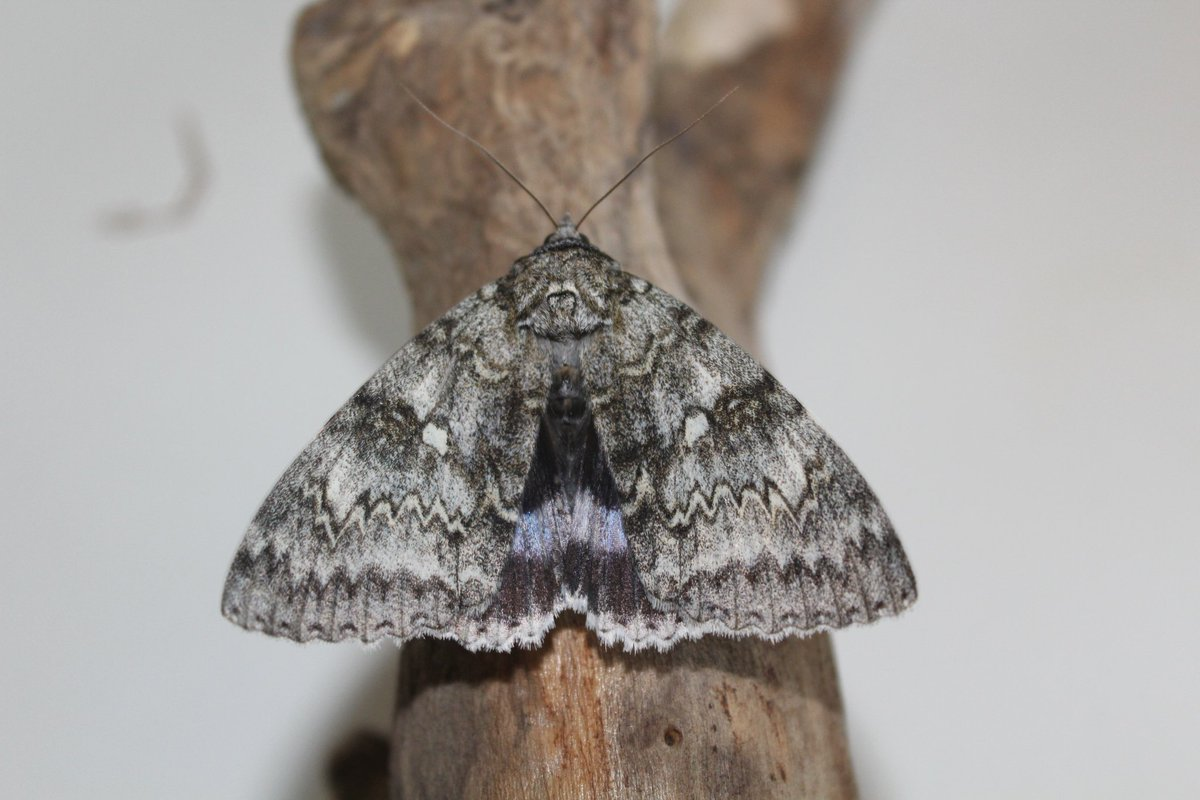 Some more pics of the Clifden this morning, now confirmed as the third county record, first for this year 🥳 #ClifdenNonpareil #YoungEntomologists #Mothing #MigrantMoths https://t.co/TefkMhlqF6
