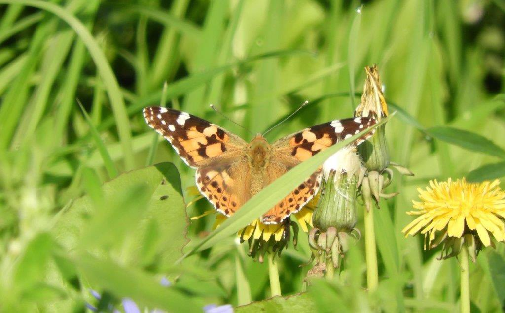2 Painted ladies and numerous whites, feeding on Lucerne, Church farm pits & 3rd generation Female Holly blue laying on ivy, camp lane. #Grimley @WorcsWT @BC_WestMids https://t.co/PCLlaW2PHT