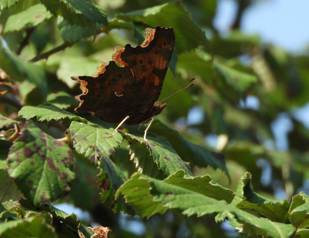 Also around #Grimley, this morning, 2 Comma, 3 Red Admirals, 2 Small Coppers, 3 Meadow Brown, 1 Speckled Wood, GV, Small & Large Whites and a very late Gatekeeper 👍🏼 @WorcsWT @BC_WestMids https://t.co/iQfqtfvwwB
