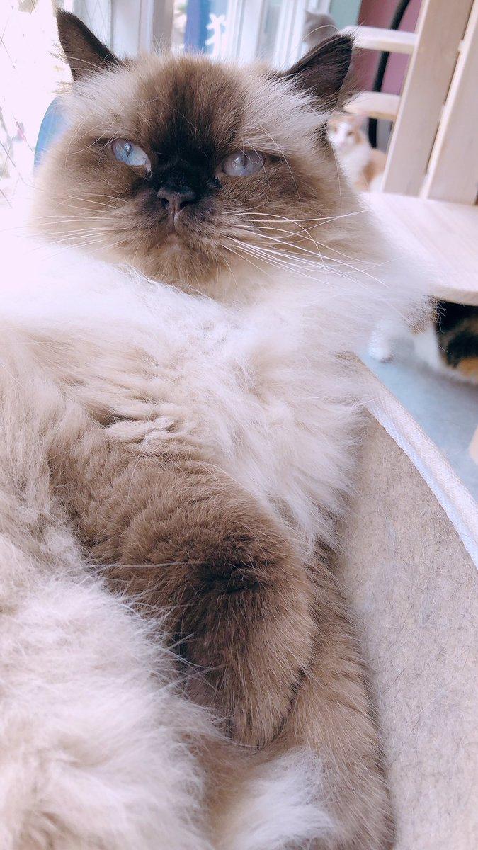 窓ベッドがお気に入りのシャーロットちゃん💗  夜のもぐもぐタイムは、19:30頃!🍚  #猫カフェmeow #catcafemeow #大名 #天神 #福岡 #fukuoka #猫カフェ #猫 #cat #고양이 #貓 #catcafe #고양이카페 #猫咪咖啡馆 #猫咪 #ヒマラヤン https://t.co/Id8bRkm3Gs