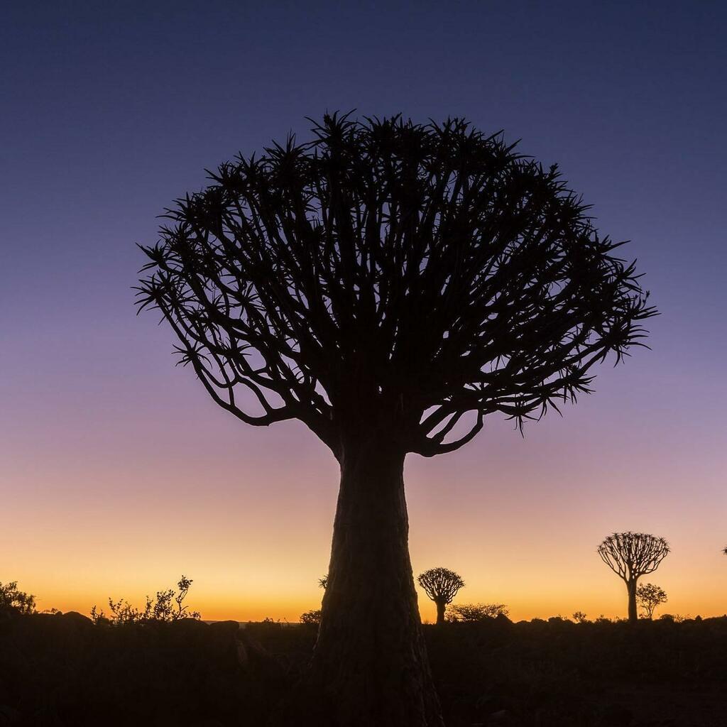 Quiver Forest #africa #nature #namibia #landscape #quiver https://t.co/ezYzZYiDjX https://t.co/EvRgJZttG9
