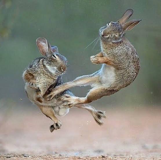 兔子打架 Ei-PST3U4AEDfyf