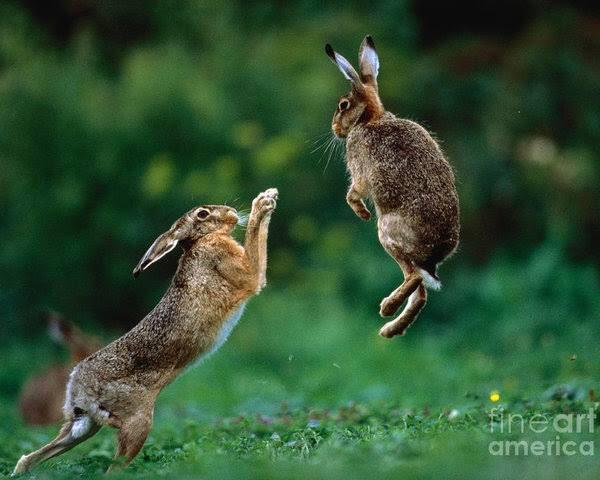 ウサギ(hare)がぴょんぴょん喧嘩してるやつ、儀式的な色が濃いのかと思ってたんだけど普通に蹴りが入ってる写真出てきた(笑)