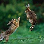 ウサギがぴょんぴょん跳ねてるのって実は…。蹴りを入れるため?w