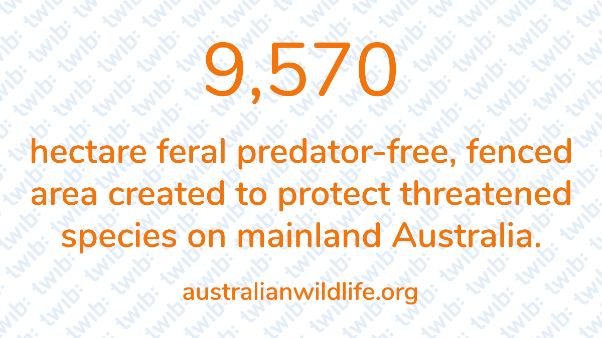 9,570 hectares feral predator-free, fenced area created to protect threatened species on mainland Australia. –   #DailyNumber https://t.co/4HWL5egJgg https://t.co/wvzHMeR0jj