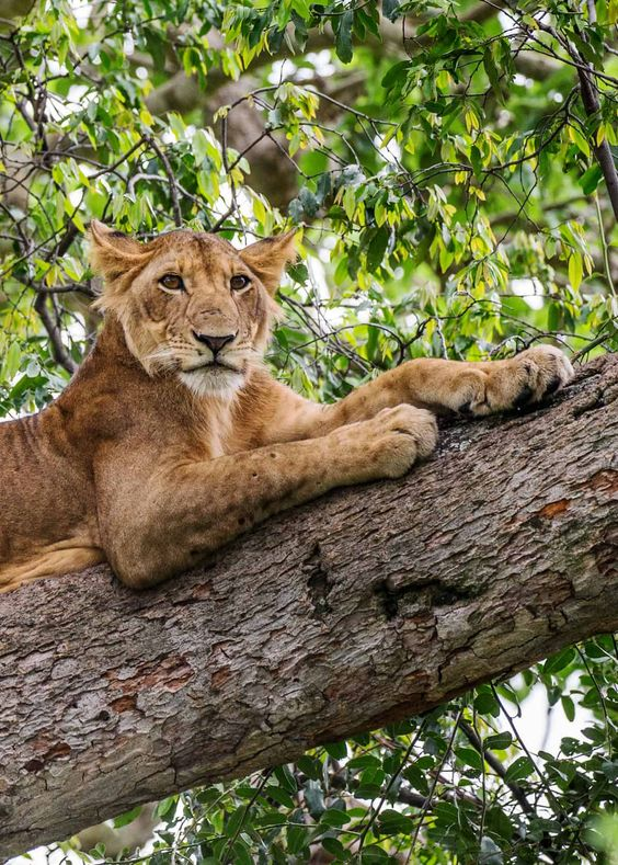 Come witness the tree climbing #lions in Ishasha of #queenelizabethnationalpark on your #UgandaSafaris. Book with us! #Visituganda #restarttoursim https://t.co/OmccSDXmEm https://t.co/5UwOJUt0kJ
