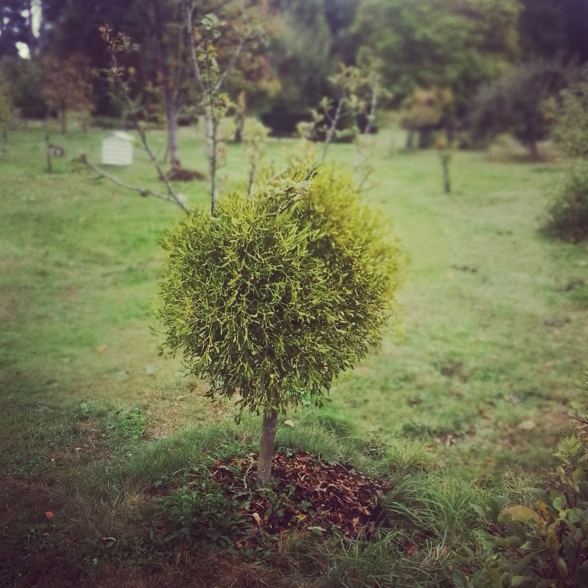 Huuuge #mistletoe, tiny #apple tree! Worth going to #HeverCastleGardens just to see this 😊 #gardening #horticulture https://t.co/lk5K8KhlQP