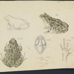 🐸 A gorgeous illustration of the Spotted Marsh frog by the artist Arthur Bartholomew.  Still time to record the frogs calling, download the free FrogID app.  Source: Museums Victoria #frogs  #wetlands  #CitizenScience