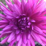 Image for the Tweet beginning: Dahlias bringing Autumn colour