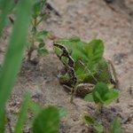 #Biodiversity2020 Month Day 26. We reckon this is the striped burrowing frog (Cyclorana alboguttata).   @AusLandcare @QldEnvironment @envirogov @WildlifeAust @WildlifeQLD @qldmuseum