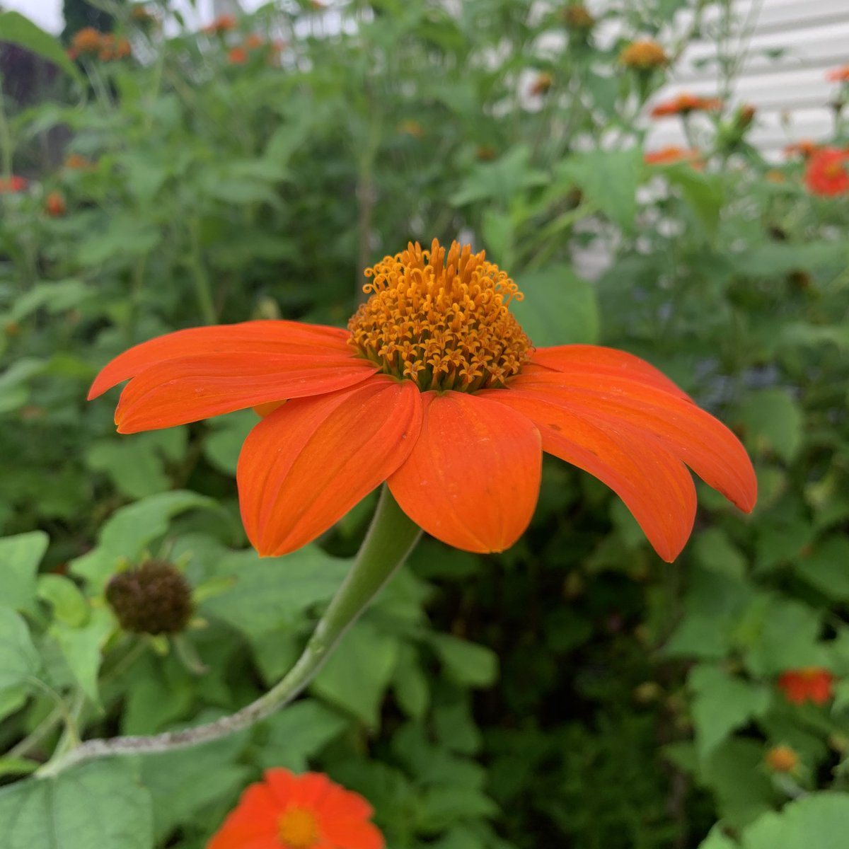 @TerriResists @EMC_Maine @JenMGardens @passthepistil @thefreckledrose @oh_grow_on @BrenHaas @saunieindiego @Fuchsiarius @billblevins The goldfinches and hummingbirds love it too #tithonia #mexicansunflower https://t.co/4h5Q8cd2pT