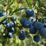 Image for the Tweet beginning: Have you been picking sloes