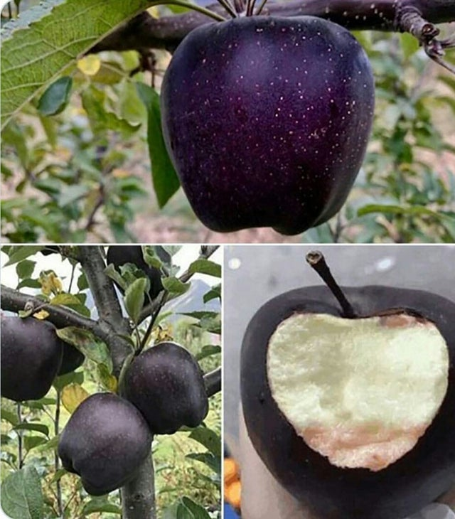 A Black Diamond Apple from the mountains of Tibet. https://t.co/2KJ4EXL4Bc