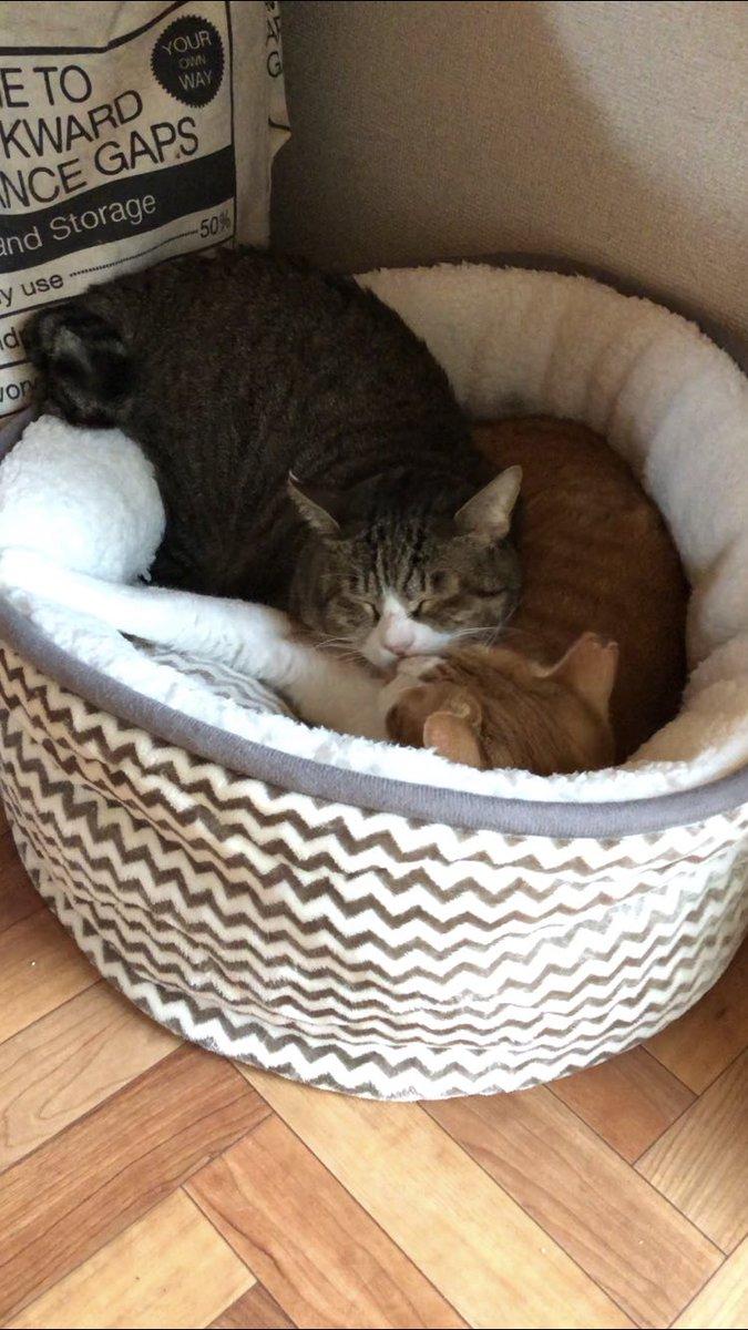 ボスがお兄ちゃんの寝込みを襲う?ところからのノーカット版はYouTubeにあげました(*´-`)ボス猫とお兄ちゃんの睦まじい姿