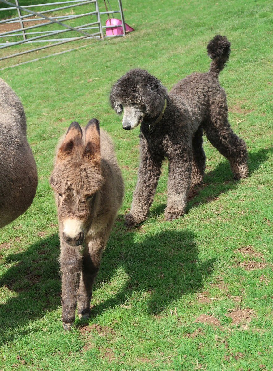 Frederick is bemused by Mr Dinky & has a new best friend 🤩 #miniature #donkey #rarebreed #Poodle #Exmoor #Devon @andesalpacas https://t.co/EF6ZP4jofE