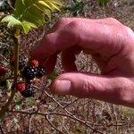 Image for the Tweet beginning: Blackberry Jam making time, make