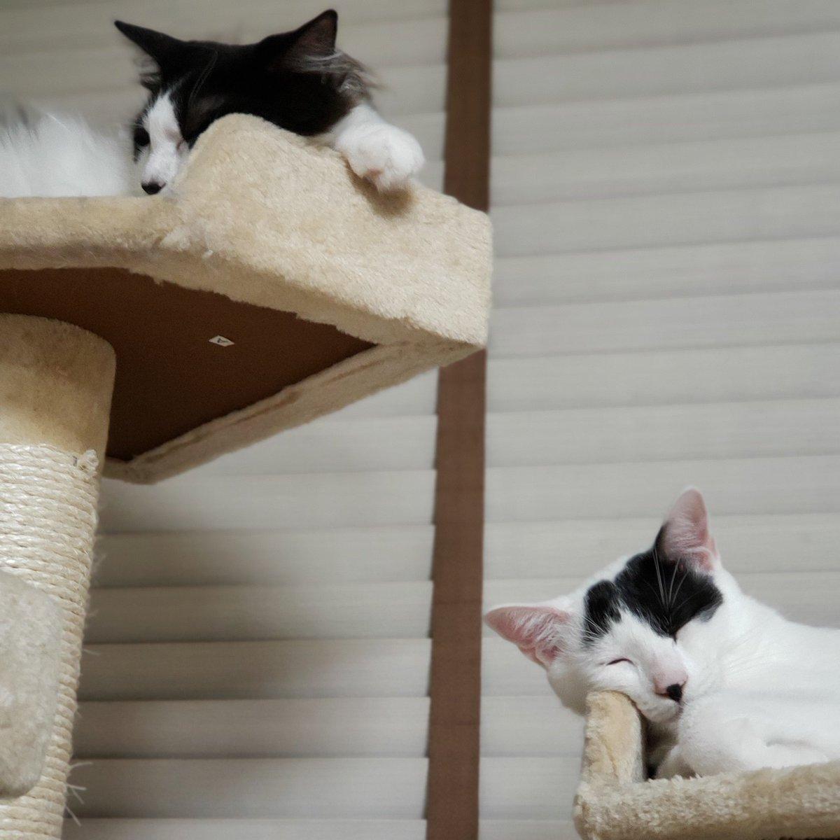 ストレスマックス。これを見たら全て癒される。もう一匹います。どこいったのかな?美味しいご飯と上質な睡眠。心穏やかな時間。猫も人間も必要なことは同じなのね。  #猫のいる暮らし #猫写真 #猫好き #猫好きさんと繋がりたい #neko https://t.co/k4PpStMwXA