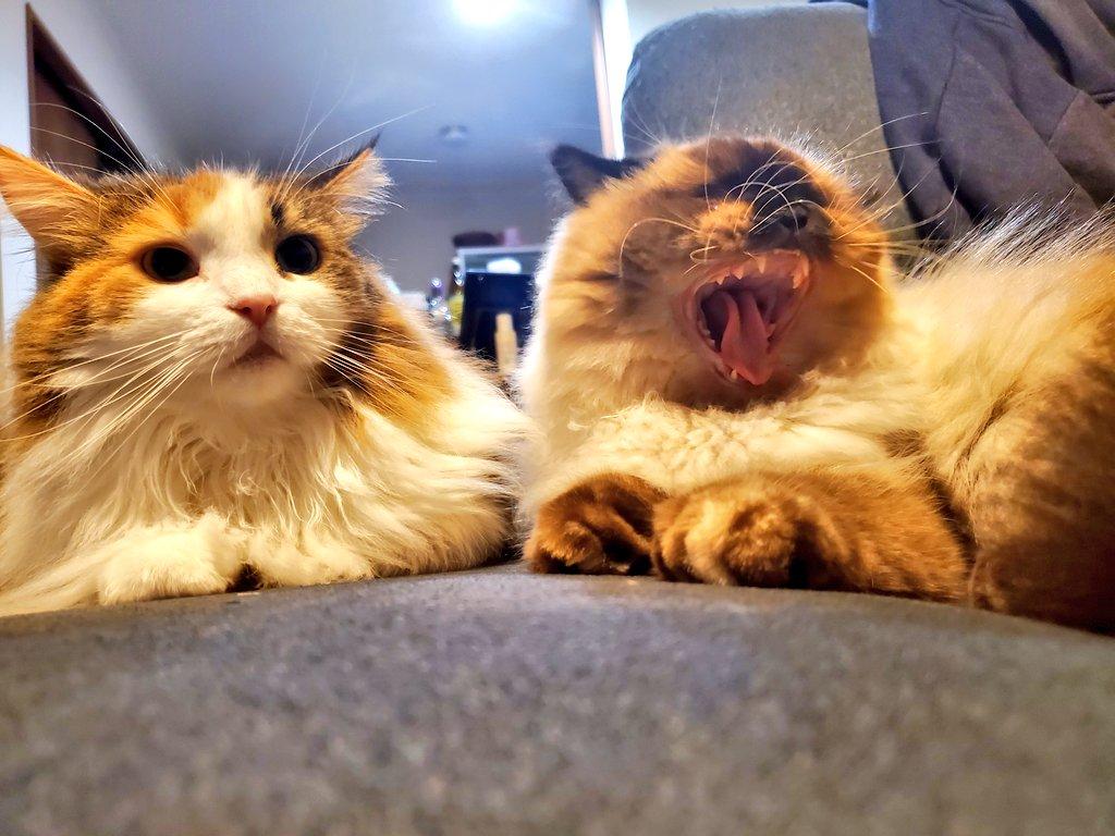 ナウなミチコマฅ^•ω•^ฅ  #猫写真 #あくび  #夜更かし #猫好きさんと繋がりたい https://t.co/nzEYDH7fdR