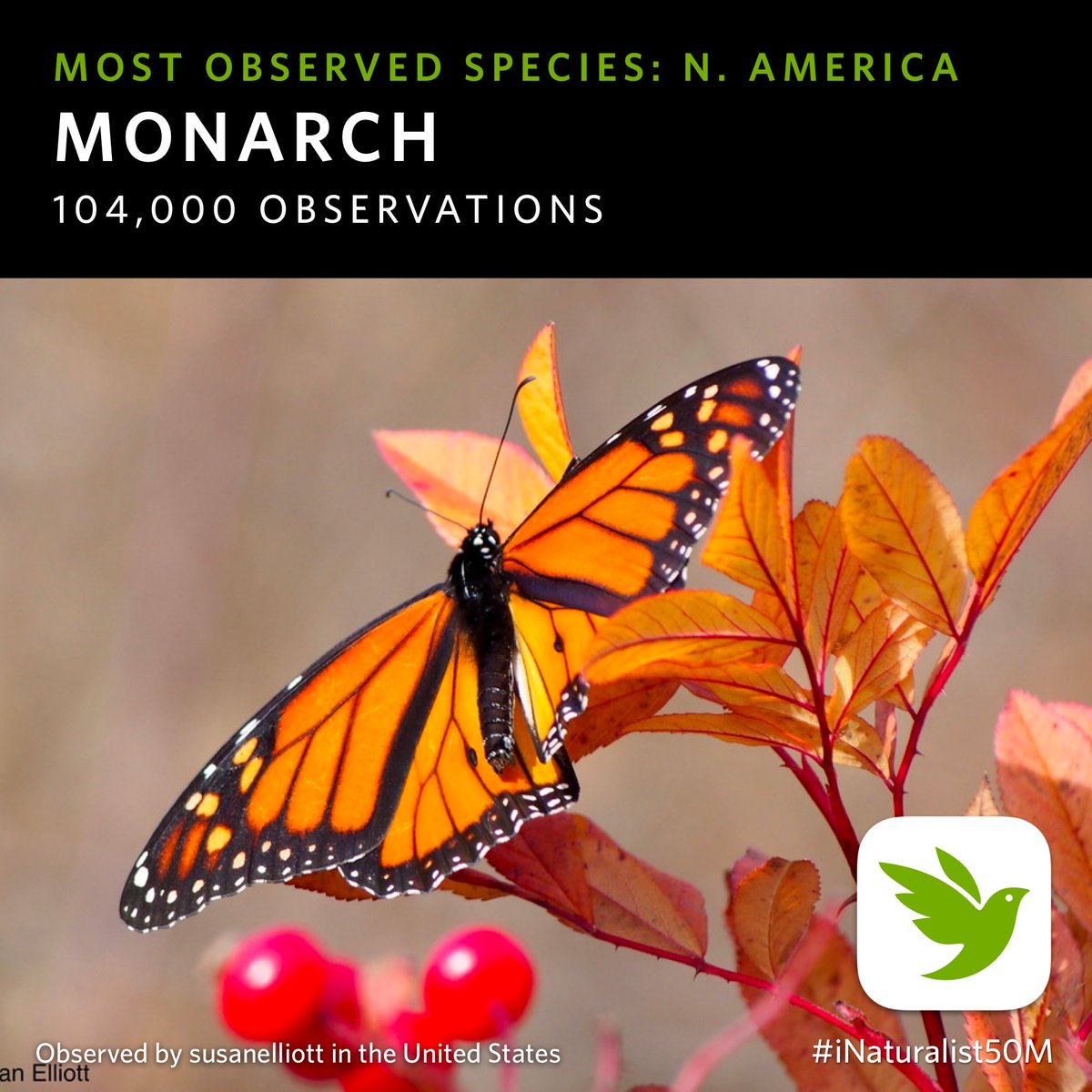 The most-observed species in North America is the #MonarchButterfly. This #Monarch was seen by susanelliott in Vermont, USA, a state that had early, widespread adoption of iNat. #iNaturalist50M Details: https://t.co/gBc8D6OOfb #citizenScience #communityScience #OpenData https://t.co/xHdZDbJIIk