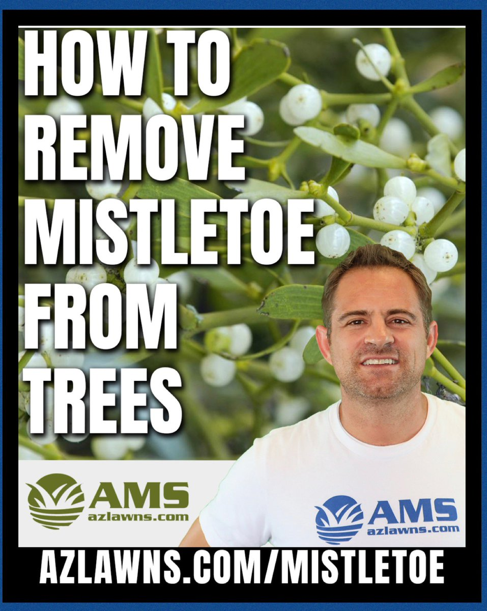 How To Remove Mistletoe From Trees.   Do you have an unusual growth on your trees?  This is also sometimes known as witches broom because it looks like the wadded up end of an old broom. See video here on our blog.   https://t.co/2FH9uOfCja  #mistletoe #treecare #treesmatter https://t.co/BMEJ8AAbWa
