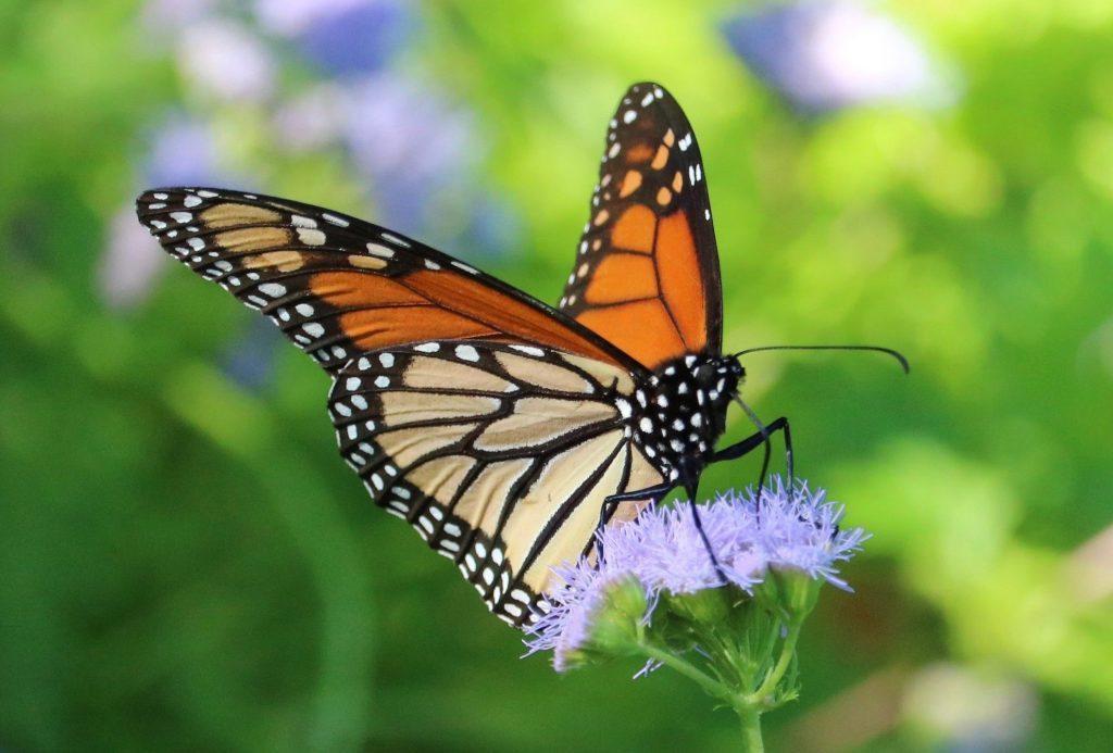 Monarch butterfly migration heads south as #ESA listing looms.   #monarchbutterfly #migration   https://t.co/S4L8aBj88G https://t.co/R4ZxFaOrvX