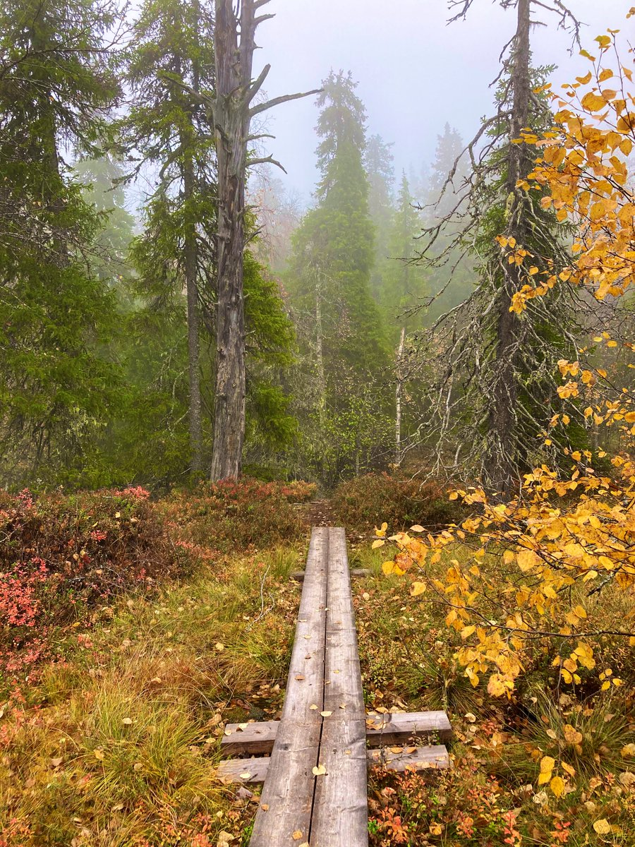 Näränkä — the old-growth #forest in #autumn colors today. 😍 This place was just magical in the #mist! @OurFinland https://t.co/qbe96yVuYe