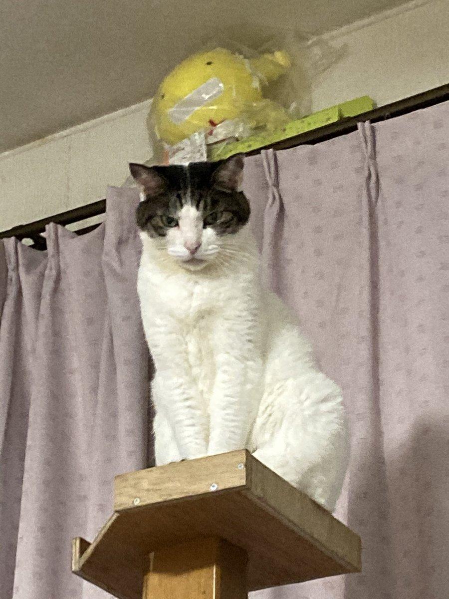 もう一匹の猫。茶色の方と喧嘩が絶えない為、若い子がケージの中におります。それかしてもこいつ……ふてぶてしい顔しとるな。  #猫写真 #猫 #猫がいる暮らし #猫好きさんと繫がりたい https://t.co/dQBCTO8zap