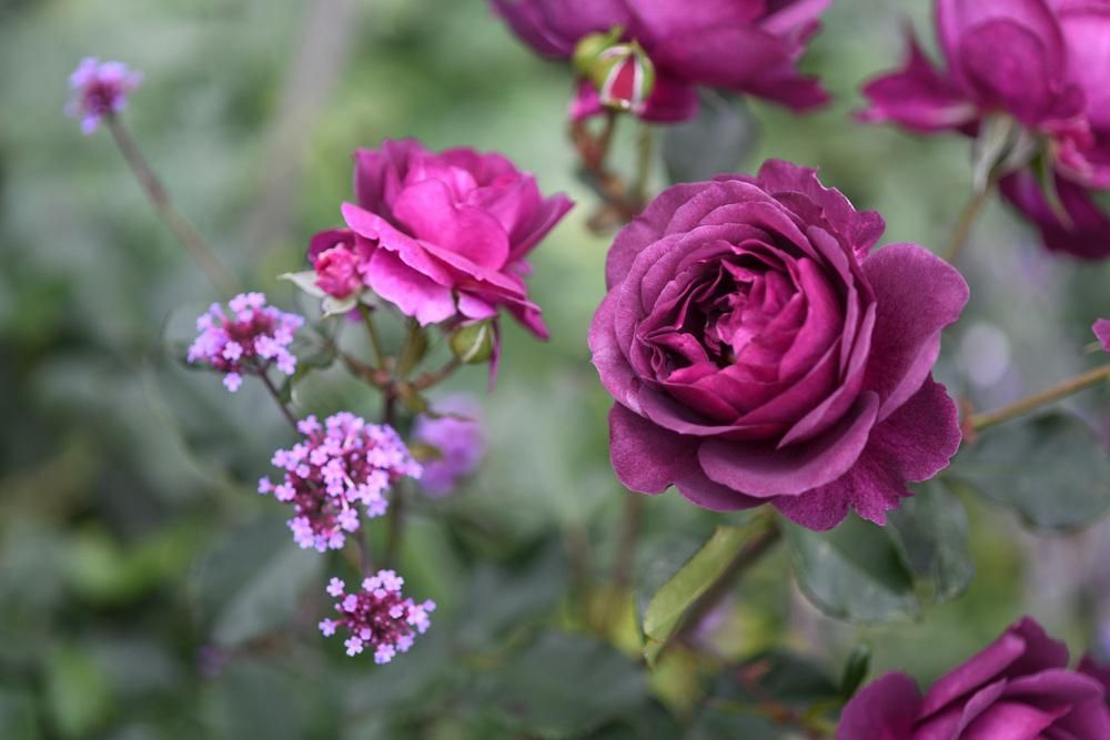 Roses: Plant Care and Collection of Varieties - https://t.co/ZUKMkjf5Pf / / / #nature #gardening #roses #bloom #care #garden #purple #flowers #NGA https://t.co/zSHITY539Z