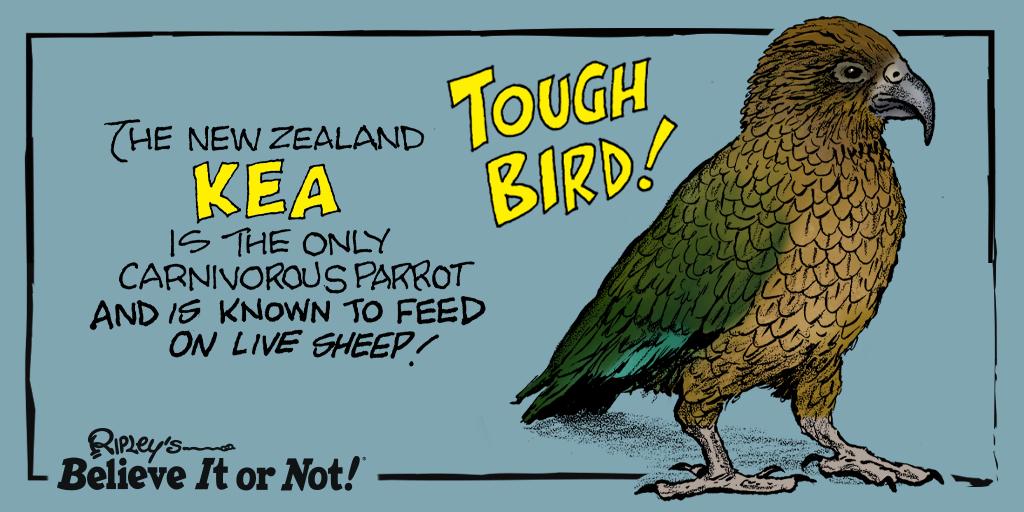 Baaa-d to the bone… #Kea #NewZealand https://t.co/yUuJOa3muZ https://t.co/22mgPi9VQV