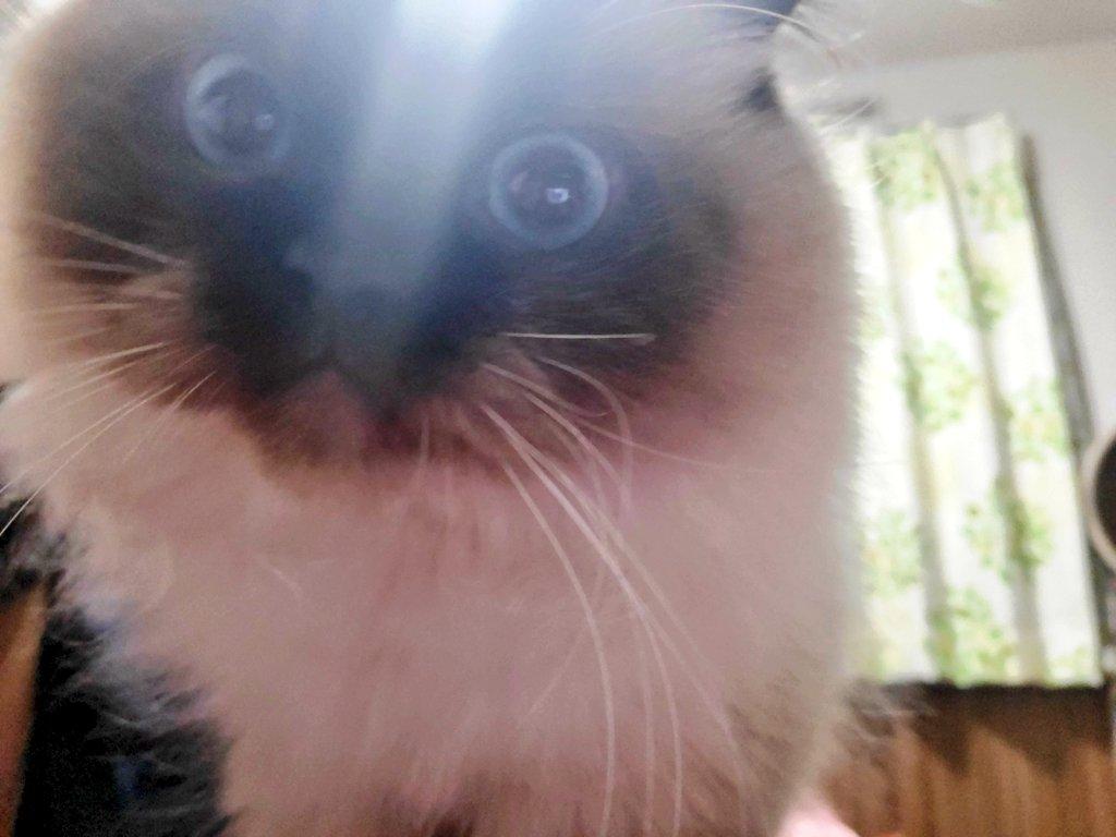 コマちゃんは 今夜も寝かせてくれないらしい( ᐛ )  もうすぐ早朝になってしまうよ🌞  #猫写真 #コマちゃん #猫好きさんと繋がりたい https://t.co/CBVTRAslat