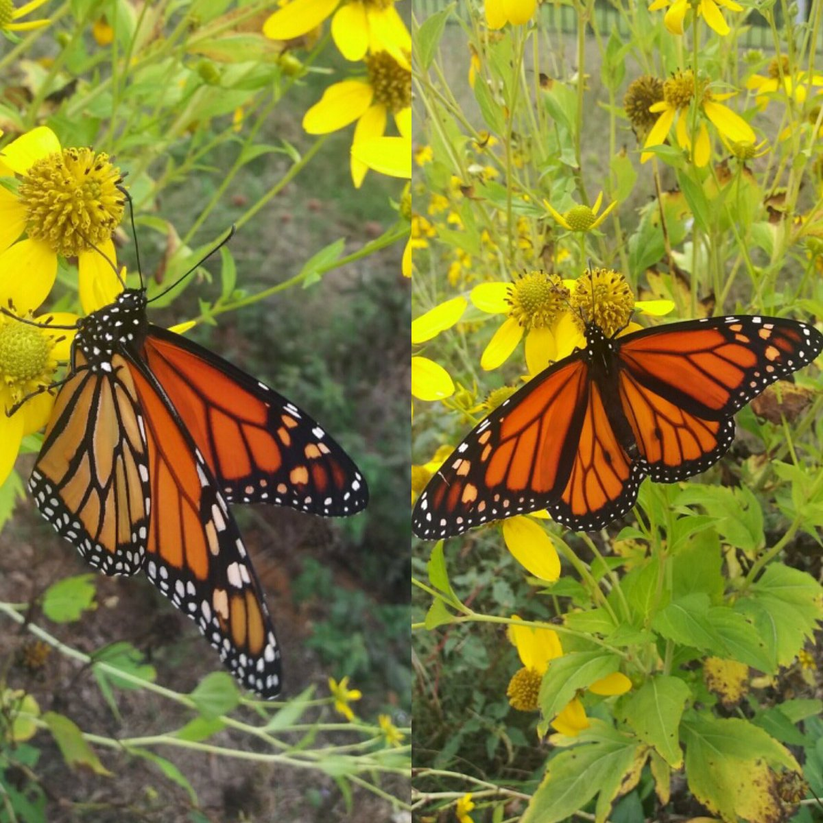 We had a very special guest outside today! A monarch butterfly emerged from his chrysalis and drank from a native wildflower.  #monarchbutterfly #science #pollinators #steam #visithandson #hodc #apphighlands #visitjohnsoncity #visitkingsport #northeasttennessee https://t.co/1iTil9E2nu