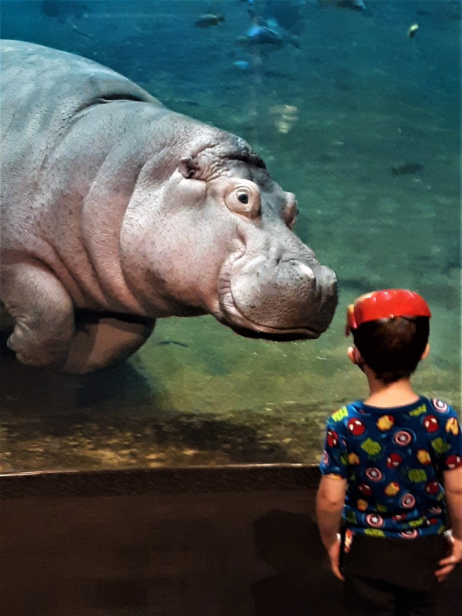 #AdventureAquarium #Camden, #Hippo  This hippo appeared fascinated by this little boy's mask! https://t.co/gPHTtirGbg