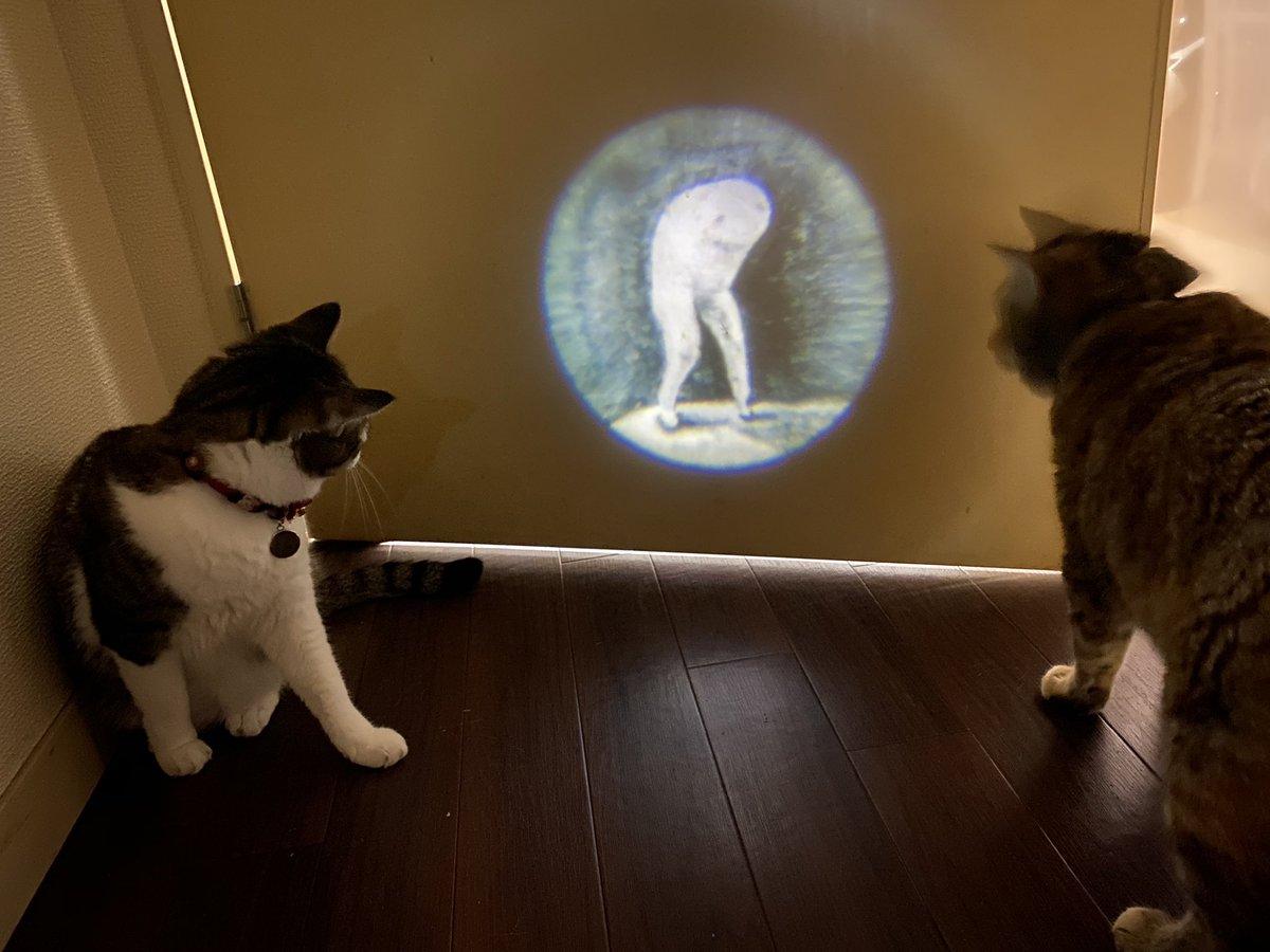 おはようございます☀  とある朝の教育風景です #ムー さんのライトを入手してしまったので、娘達に英才教育を!という奥様のご指示により、教育を担当しております☺️ よく分かってなくても食いつきがいいお嬢様達、UMAハンターにならないかな?🤔🐾 #猫写真  #猫がいる幸せ  #猫好きさんと繋がりたい https://t.co/uZlLYrGwwA