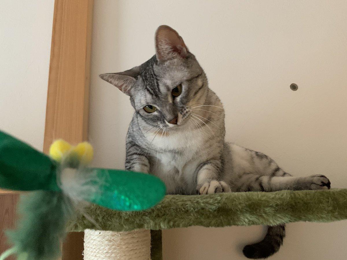 捕らえたにゃっ🐾 #猫 #ネコ #ねこ #cat #サバトラ https://t.co/h5uCRuWnCy