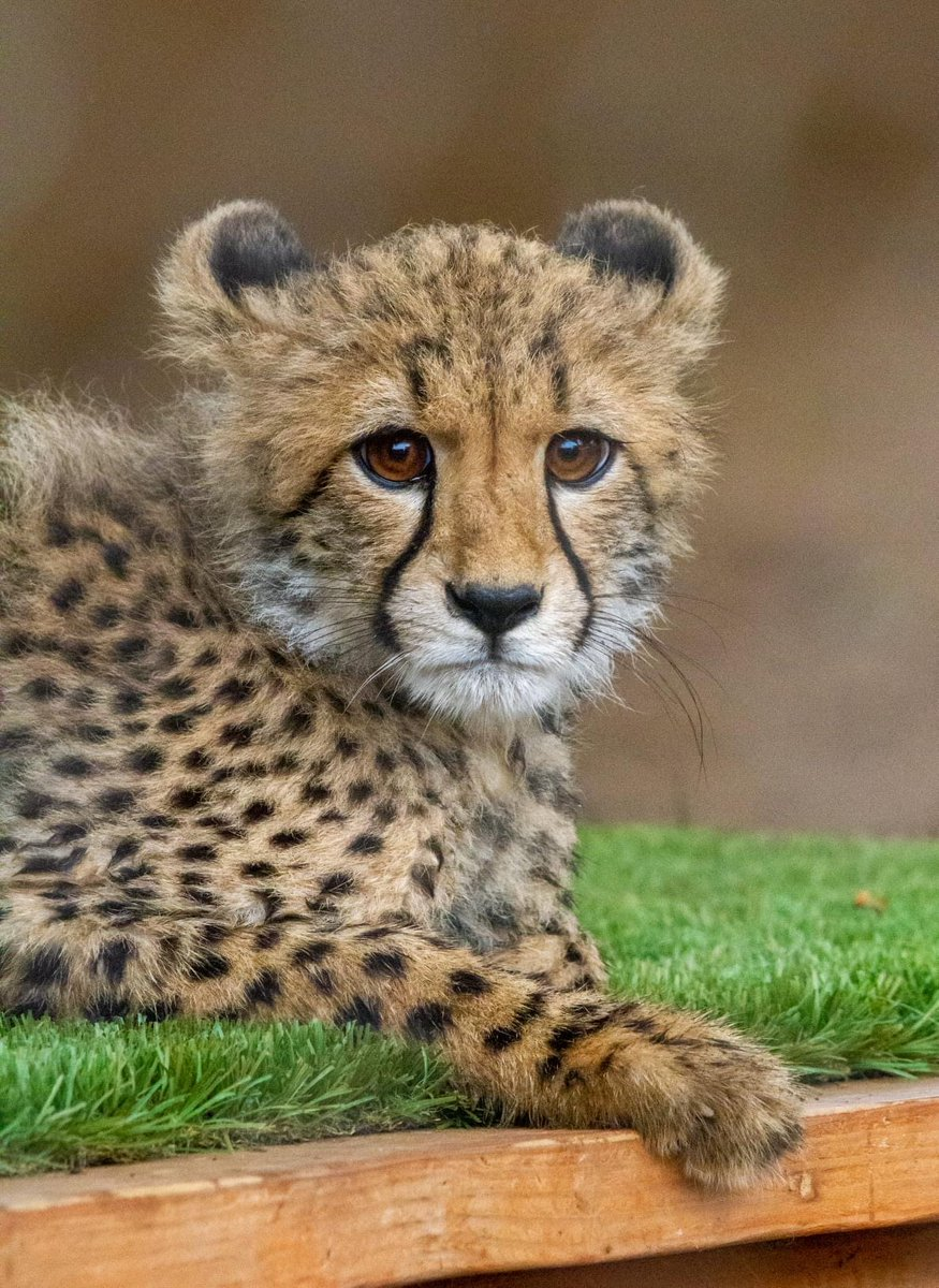 Give a very warm #Caturday welcome to Maggie. She was raised at the @sdzsafaripark and recently joined our cheetah ambassador team. 📷 Tyler Green https://t.co/R75nIzm94Z