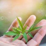 Image for the Tweet beginning: #cannabis #marijuana #weed Cannabis referendum: