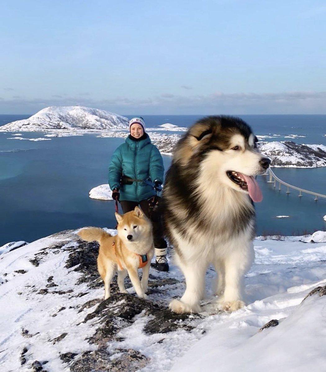 犬画像を見てて、またまたあ……と思ってたらアラスカンマラミュートという犬種だった。すごい大きさ。子どもなら背中に乗って通学はもちろん旅できるレベル。かわいい